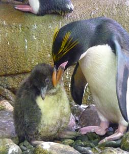 First Macaroni penguin born in Spain