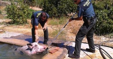 A pig in a pool poses a different kind of rescue mission for animal charity