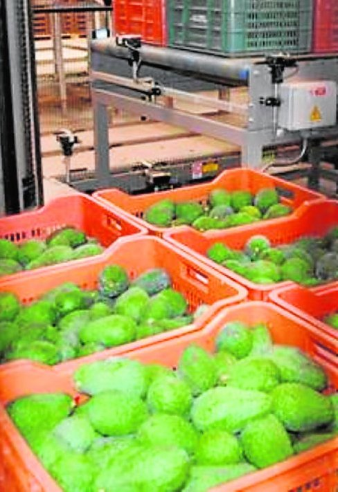 Avocado growers fearful of potential Mexican imports