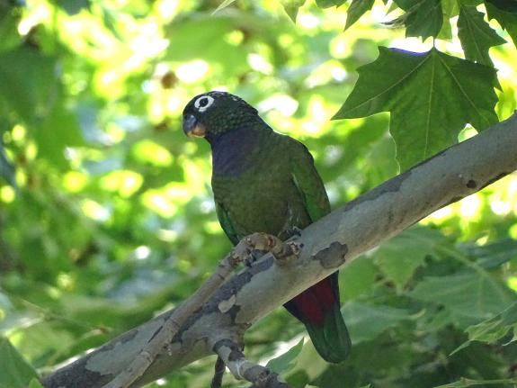 malaga park s parrot invasion continues as new species is discovered